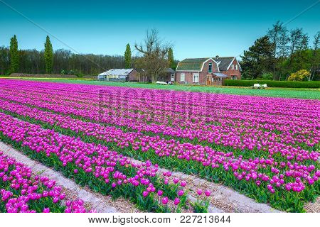 Stunning Spring Landscape, Dutch Flower Gardens, Farmlands With Farmhouse And Pink Tulip Fields Near