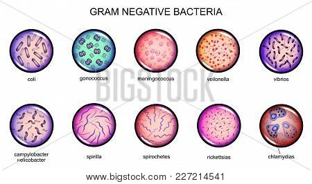 Vector Illustration Of Gram-negative Bacteria. Microbiology. Culture.