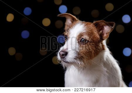 Dog On A Black Background. Jack Russell Terrier With Lights