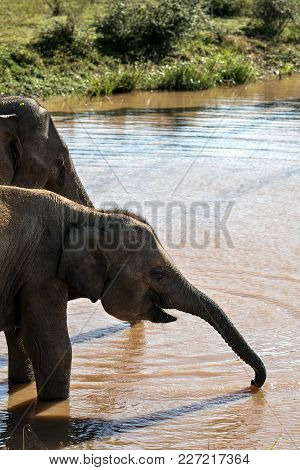 Small Elephant Is Drinking From The River Near Its Mother In Yala National Park On Sri Lanka. Sun Sh