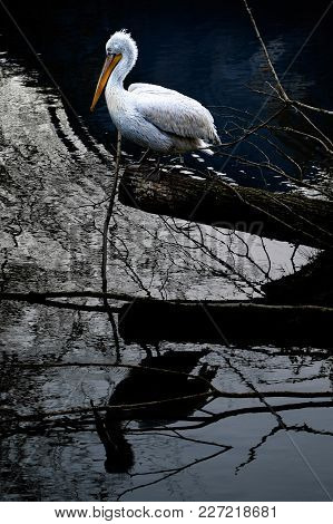 A Dalmatian Pelican With A Long Yellow Beak Is Reflected On The Water Of A Lake