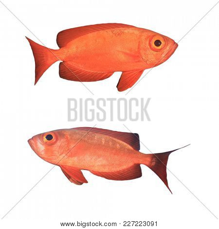 Red tropical fish isolated. Crescent-tailed Bigeye fish on white background