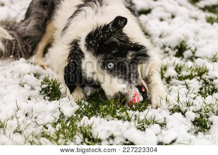 A Blue Merle Collie Dog With Blue Eyes, Playing With A Tennis Ball In Snow