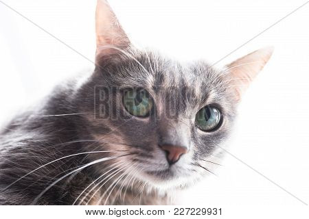 Beautiful Gray Cat, With Green Eyes, Against The Window, For Any Purpose