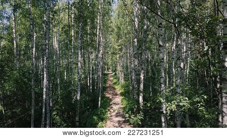 Sun Through The Trees Of A Birch Grove. Clip. Path Through Birch Grove At Summer. Background, Nature