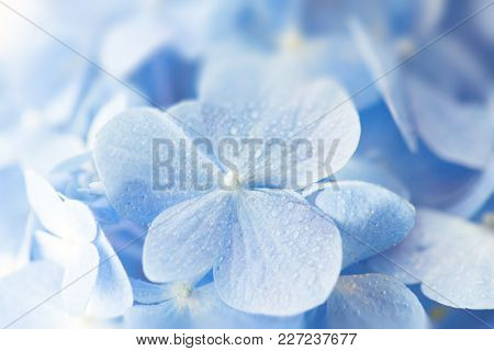 Soft blue Hydrangea (Hydrangea macrophylla) or Hortensia flower with water dew on petals. fading into white incoming light background. Shallow depth of field for soft dreamy feel.