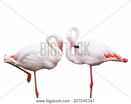 Bird Flamingos Standing On One Leg Isolated On White Background And Copy Space