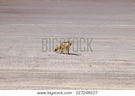 Andean Fox From Bolivia. Bolivian Wildlife, Nature