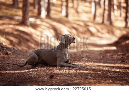 The Beautiful Hunting Dog Of Breed Weimaraner Lies In A Profile
