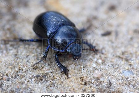 Blue bloody-nosed beetle sitting on sandy rocks. Macro picture with shallow DOF. poster