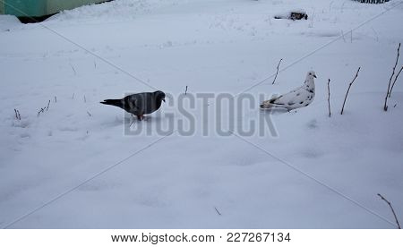 A Pair Of Pigions On The Snow