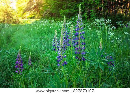Willow-herb. Cyprus Angustifolia Or Ivan Tea (koporye Tea)