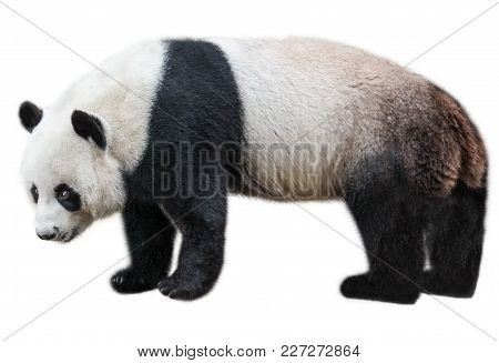 The Giant Panda, Ailuropoda Melanoleuca, Also Known As Panda Bear, Is A Bear Native To South Central