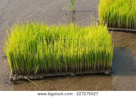 Seedlings Of Rice In Rice Fields. Oung Rice Are Growing In The Paddy Field/rice Field