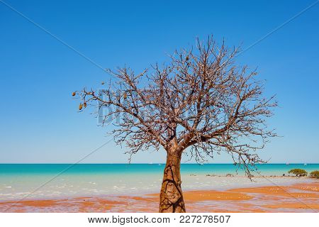 A Boab (baobab Tree) Tree Grows On The Coastline In Broome, A Coastal Town In The Kimberley Region O