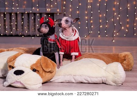 Two Cute American Hairless Terrier Are Sitting On A Toy Soft Dog. Pet Animals. Traditional Holidays.