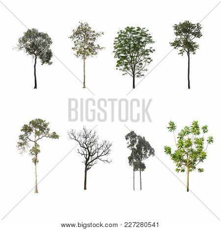 Green Tree At Isolated On White Background .the Collection Of Trees.