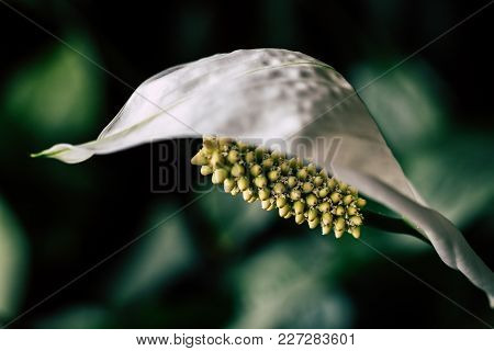 Beautifu White Flower Ready To Flourish In The Summer