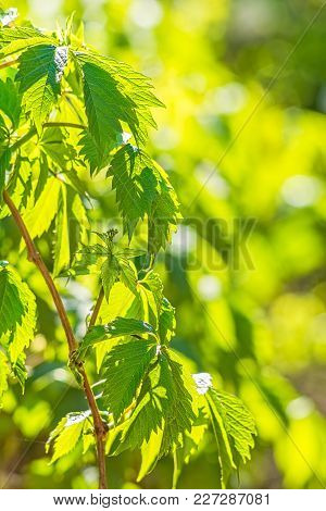 Green Spring Leaves Of A Maiden Grapes On The Setting Sun Close-up, Backlit