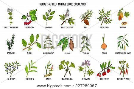 Collection Of Natural Herbs For Blood Circulation. Hand Drawn Botanical Vector Set Of Medicinal Plan