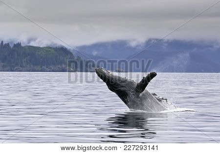 A Whale Breaching In The Alaskan Ocean With Water Splash