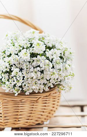 White Flowers Iberis In Basket, Spring Blossom. Abstract Blurred Background. Springtime Concept. Cop