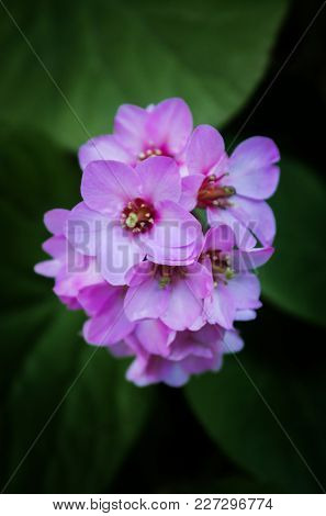 Closeup on a fresh new Violet flower agains a green foliage background