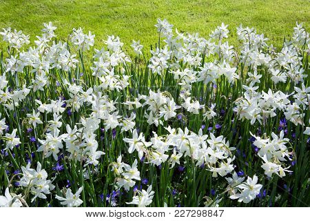 White Daffodils In The Garden. Outdoor Shot Of Daffodils In A Nicely Full Flowerbed In Spring.