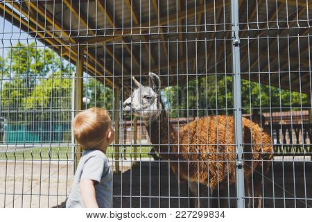 Little Cute Child Baby Boy Looking At Zoo Or Animal Farm On Big Lama Alpaca. Active Leisure With Chi