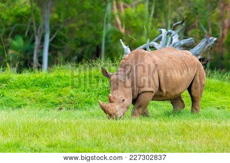 Southern White Rhinoceros, Endangered African Native Animals