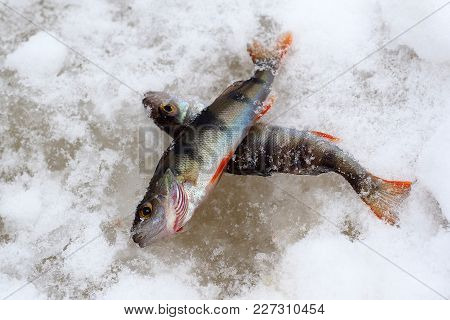 Live Frozen Fish On Snow. Pisces Perch Catch On The Ice Of The River. Winter Fishing Through The Hol