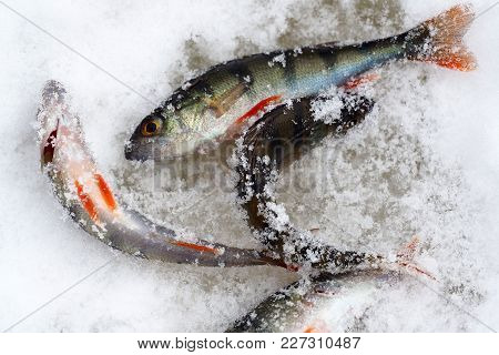 Live Frozen Fish. Pisces Perch Catch On The Ice Of The River. Winter Fishing Through The Hole.