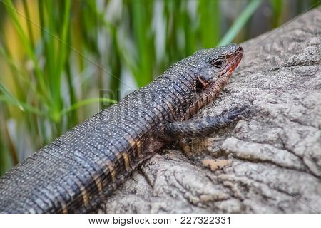 Small Brown Lizard Sitting On A Rock, Harmless Reptile