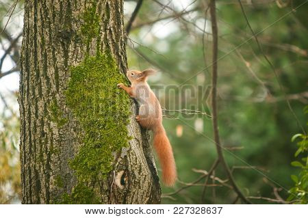 A Side View Of A Squirrel Climbing On A Tree In The Woods.
