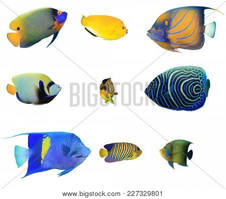 Angelfish tropical reef fish collection. Yellowmask, Three spot, Blue ringed, Emperor, Regal, Arabian and Koran Angelfishes on white background