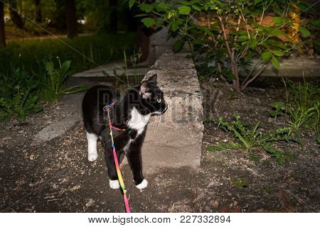 Black And White Cat Is Walking On The Harness On City Courtyard In Summer Evening.