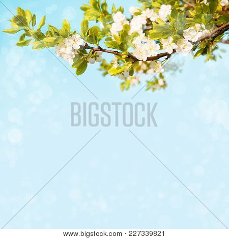 Beautiful Spring Nature Background. Flowering Time Of Plum Trees. Branch With White Plum Blossom On