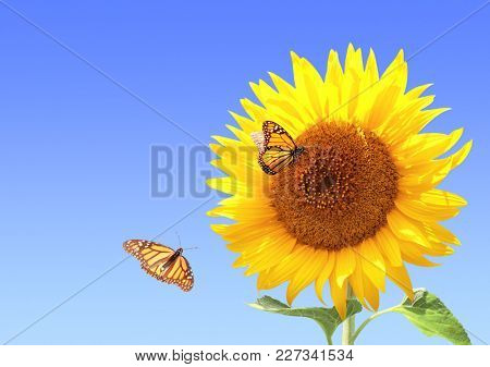 Sunflower and monarch butterflies (Danaus plexippus, Nymphalidae) on blue sky background. Copy space for your text