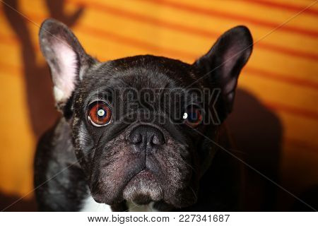 Black French Bulldog Portrait Home Interior Studio Quality