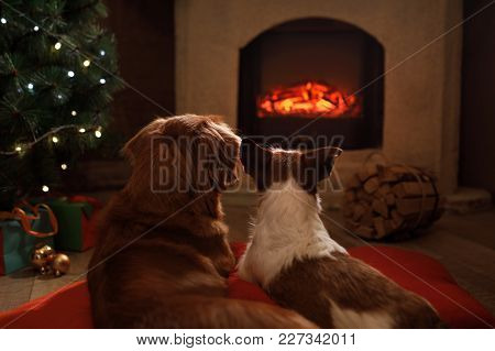 Two Dogs By The Fireplace. Jack Russell Terrier And Nova Scotia Duck Tolling Retriever. Christmas Ev