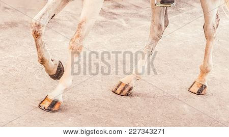 White Horse Legs. Advanced Dressage Test On Equestrian Competition. Equine Theme. Saddle, Bridle, Bo