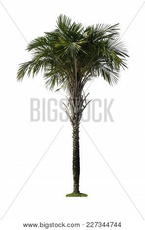 Green Palm Tree Isolated On White Background Of File With Clipping Path .