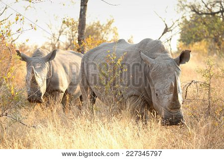 Close Up Of A African White Rhino In A South African Game Reserve