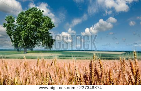 Wheat against the blue sky