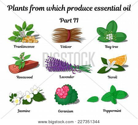 Plants From Which Produce Essential Oils Such As Frankincense, Vetiver, Bay Tree, Rosewood, Lavender