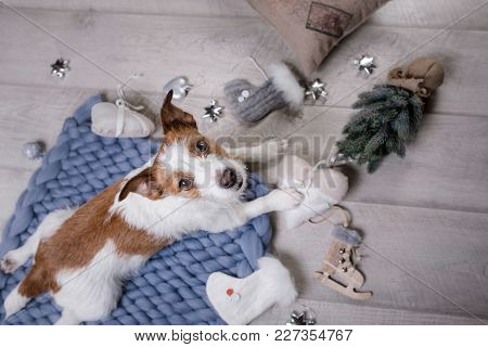 The Dog Is Lying On The Floor. Jack Russell Terrier With Toys