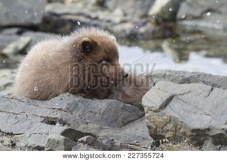 Commanders Blue Arctic Fox Sitting Among Rocks On The Ocean At Low Tide
