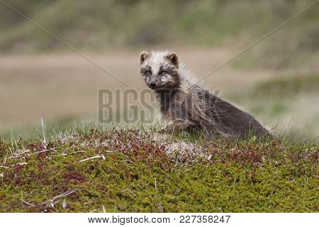 Molting Commanders Blue Arctic Fox Sitting Among The Hills Of The Spring Tundra In A Sunny Day