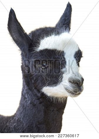 Closeup Image Of A Juvenile Alpaca Isolated On A White Background