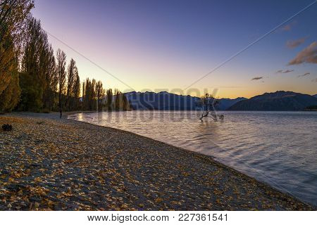 Twilight At The Famous That Wanaka Tree (or The Lone Tree Of Wanaka). That Wanaka Tree Is Willow Tre